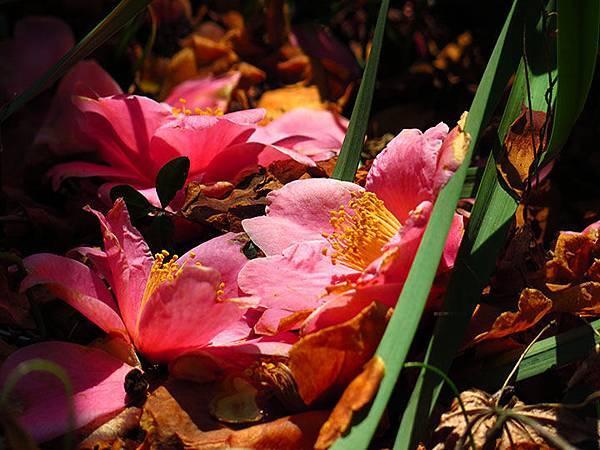 camellia 14
