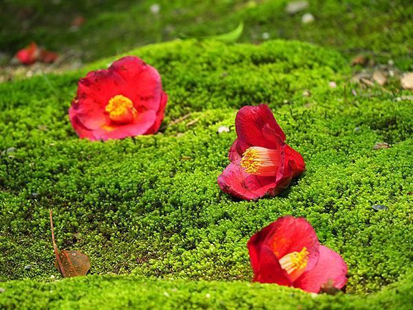 camellia 16