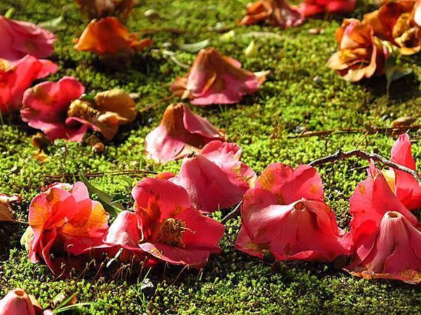 camellia 17