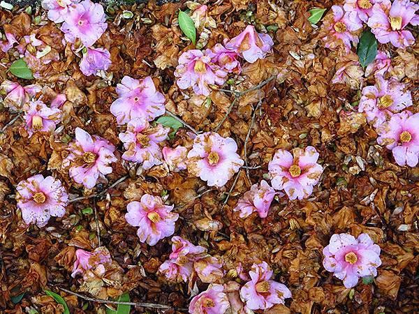 camellia 19