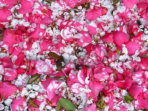 camellia 20