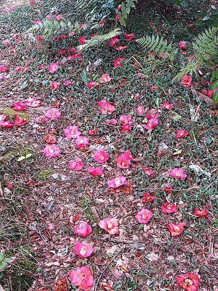 camellia 23