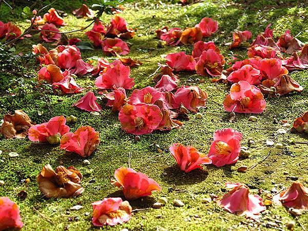 camellia 24