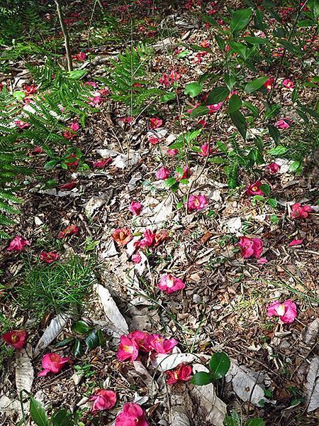 camellia 25