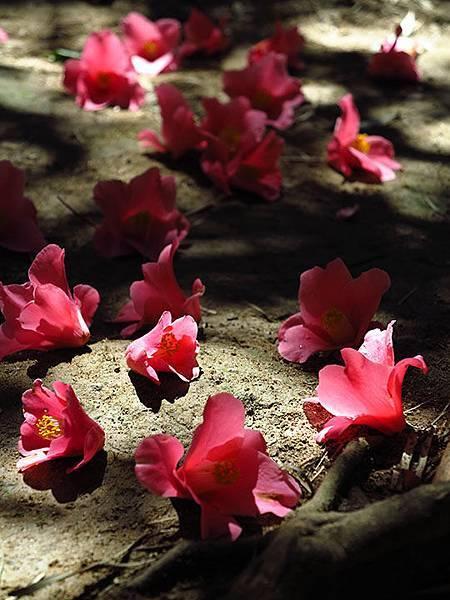 camellia 27