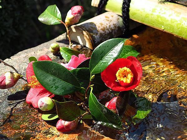 camellia 28