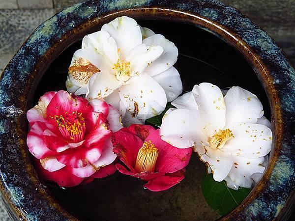 camellia 29