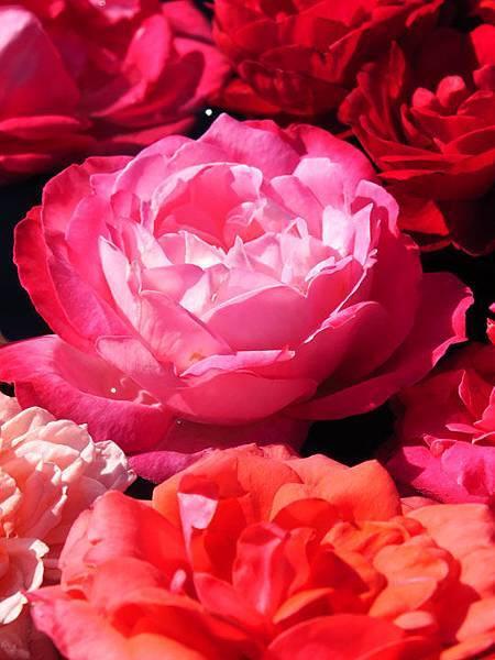 Rose 9.JPG