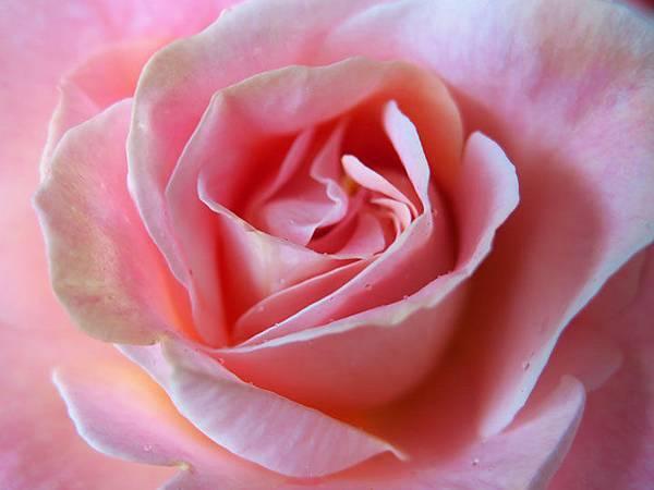 Rose 12.JPG