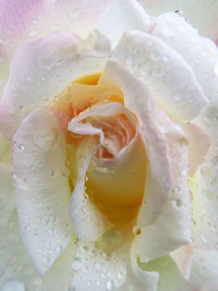 Rose 13.JPG