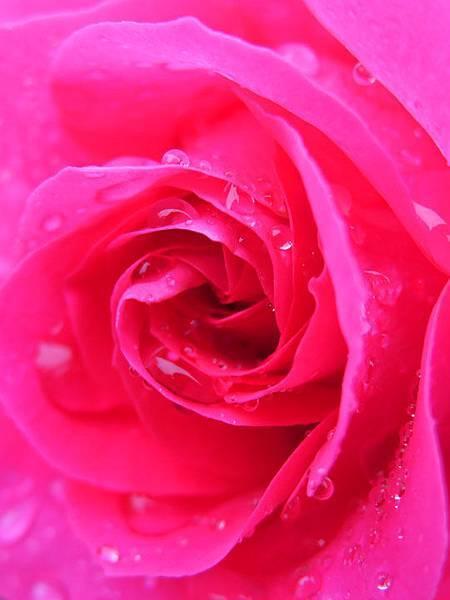 Rose 17.JPG