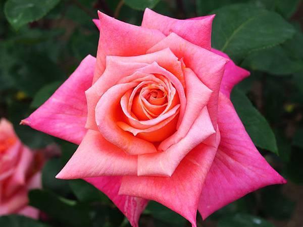 Rose 18.JPG
