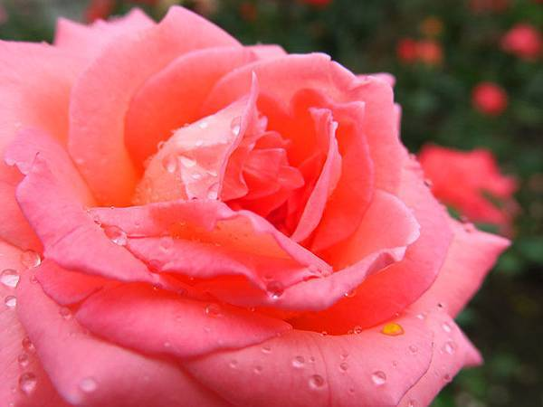 Rose 19.JPG