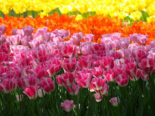 Tulip a1.JPG