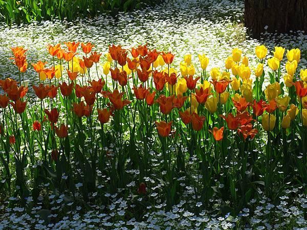 Tulip e1.JPG