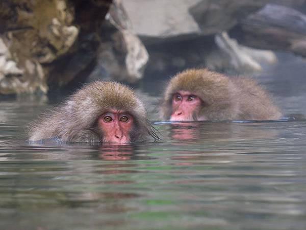Onsen monkeys c3.JPG