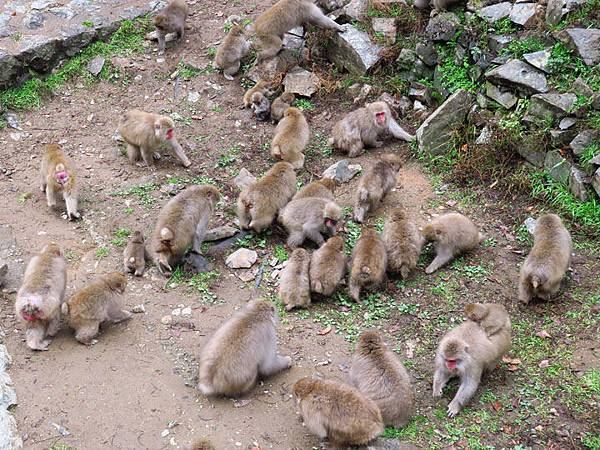 Onsen monkeys b3.JPG
