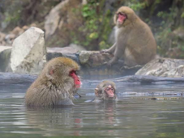 Onsen monkeys c2.JPG