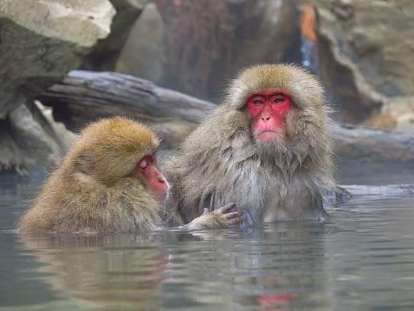 Onsen monkeys c5.JPG