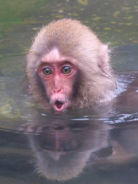 Onsen monkeys c9.JPG