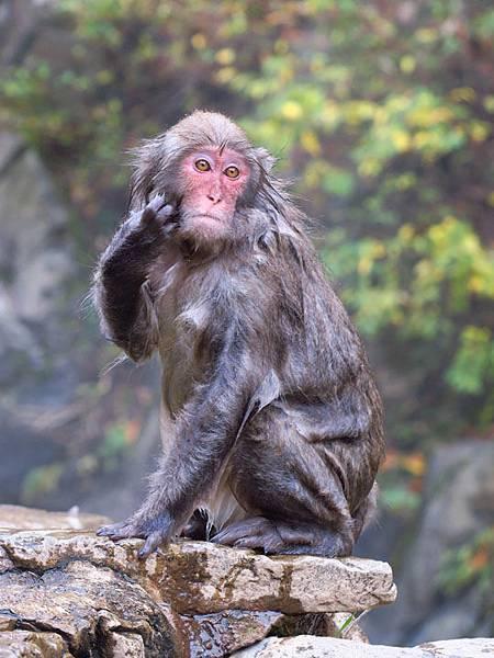 Onsen monkeys d3.JPG