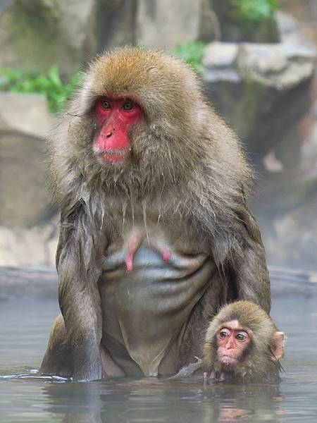 Onsen monkeys d2.JPG