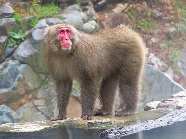 Onsen monkeys e1.JPG