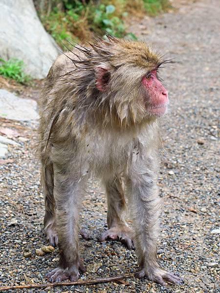 Onsen monkeys d4.JPG