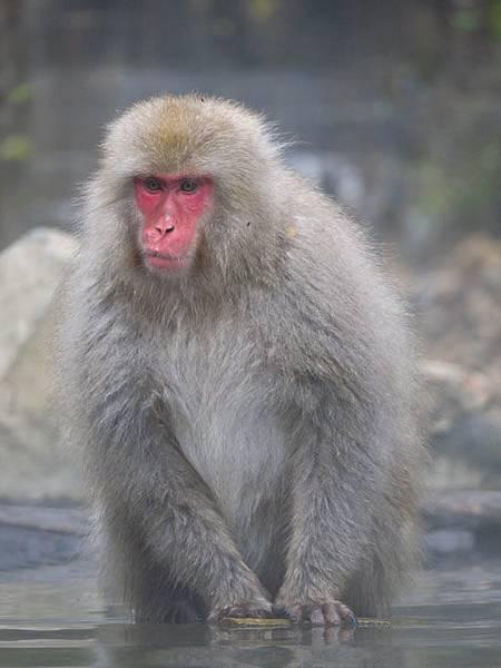 Onsen monkeys e6.JPG