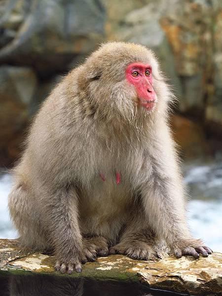 Onsen monkeys e2.JPG
