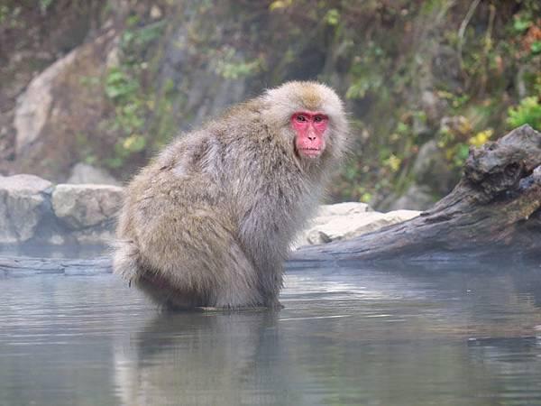 Onsen monkeys e5.JPG