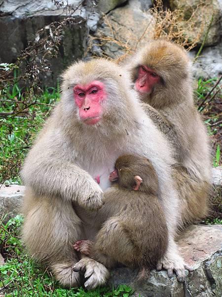 Onsen monkeys f3.JPG