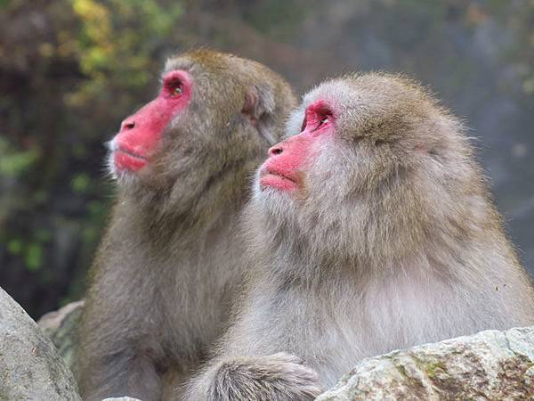 Onsen monkeys g1.JPG