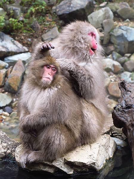 Onsen monkeys f2.JPG