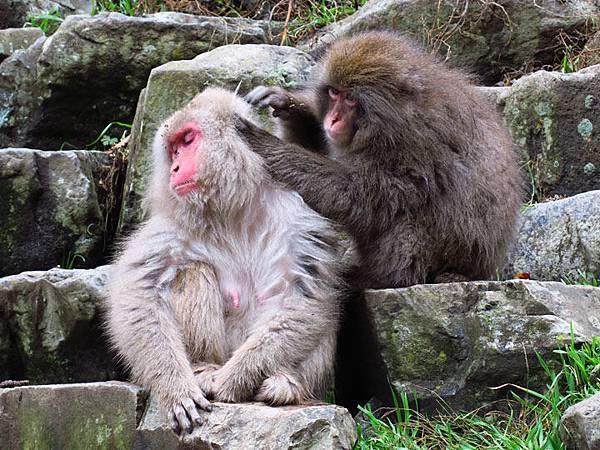 Onsen monkeys f1.JPG