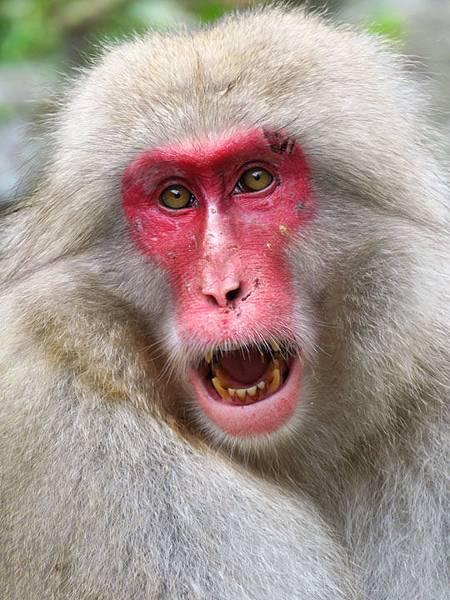 Onsen monkeys g4.JPG