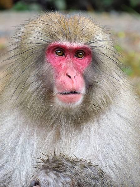 Onsen monkeys g3.JPG