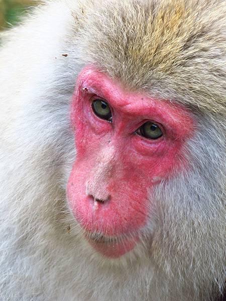 Onsen monkeys g5.JPG