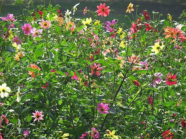 Asteraceae 2.JPG
