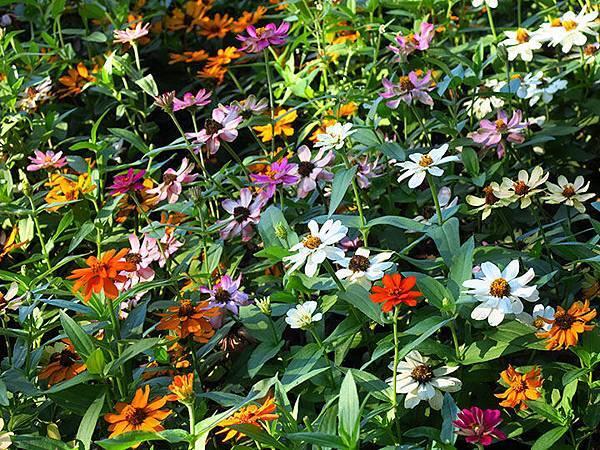 Asteraceae 1.JPG
