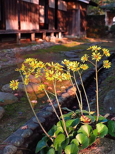 Asteraceae 6.JPG