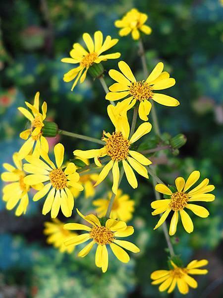 Asteraceae 9.JPG