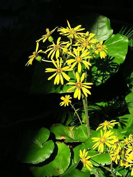 Asteraceae 7.JPG
