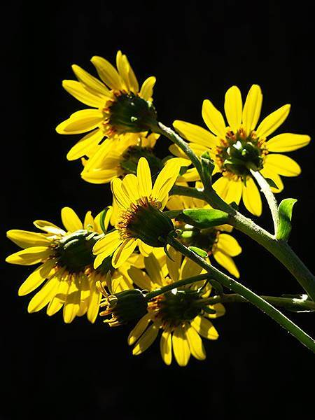 Asteraceae 8.JPG