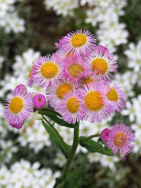 Asteraceae 11.JPG