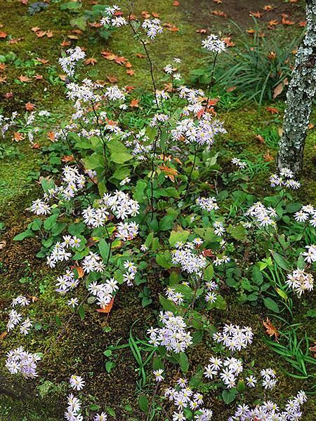 Asteraceae 13.JPG