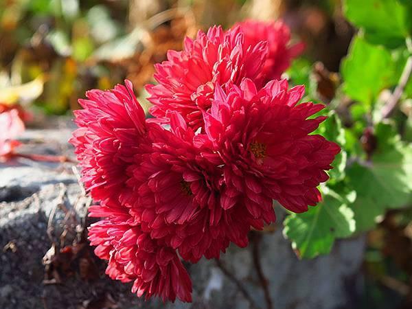 Asteraceae 15.JPG