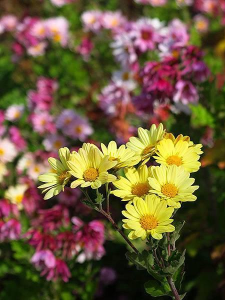 Asteraceae 16.JPG