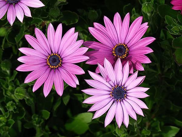 Asteraceae 17.JPG