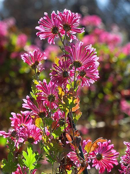 Asteraceae 19.JPG
